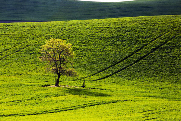 North America;USA;Washington;Palouse;Lone Tree in Wheat Field with tracks running over hill