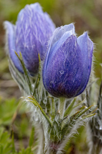 Pasque, aka crocus flowers, in the Bighorn Mountains of Wyoming, USA