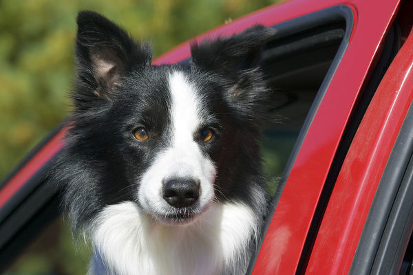 Purebred Border Collie looking out red truck window