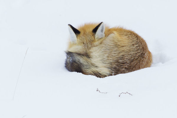 Red Fox; Winter Nap