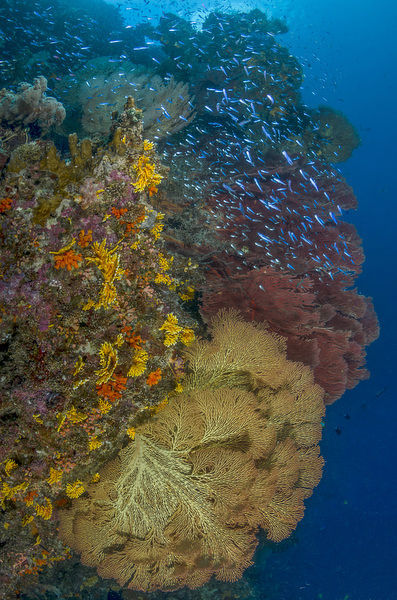 South Pacific, Solomon Islands. Schooling baitfish and coral. Credit as: Jones & Shimlock / Jaynes Gallery / DanitaDelimont