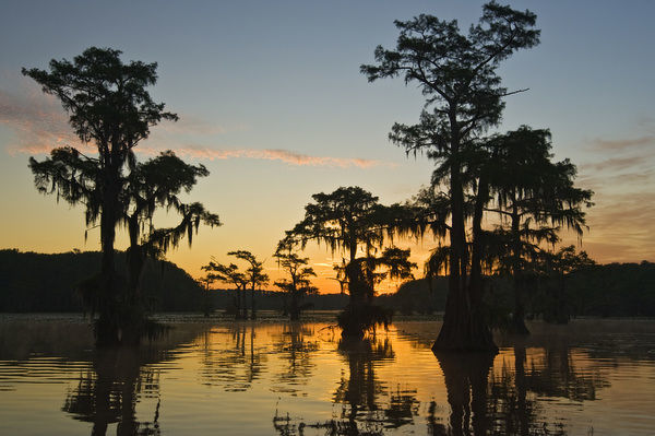 Sunrise and bald cypress (Taxodium distichum) trees with Spanish moss, Caddo Lake