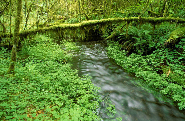 Taft Creek and lush groundcover in the Hoh Rain Forest, Olympic National Park, Washington State, USA
