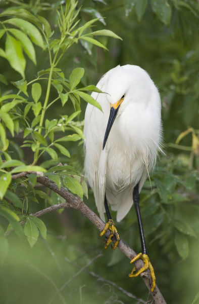 USA, Florida, St. Augustine. Snowy egret perches on tree limb above its nest. Credit as: Arthur Morris / Jaynes Gallery / DanitaDelimont