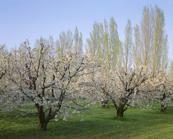USA, Oregon, Columbia River Gorge. Flowering fruit orchard near Mosier with distant Lombardy poplar trees