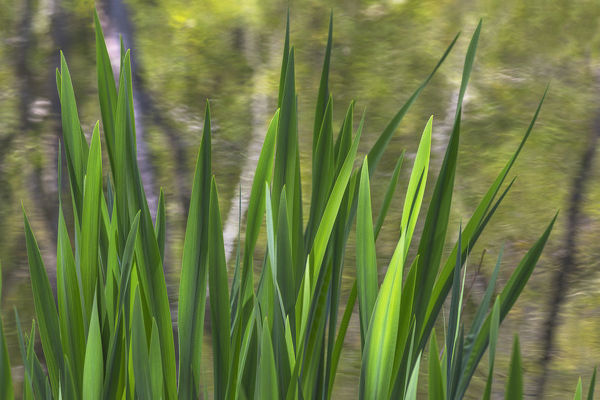 USA, Washington, Bainbridge Island. Cattails on pond in spring. Credit as: Don Paulson / Jaynes Gallery / DanitaDelimont.com