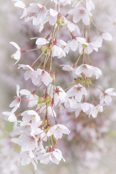 USA, Washington, Seabeck. Cherry tree blossoms close-up. Credit as: Don Paulson / Jaynes Gallery / DanitaDelimont.com