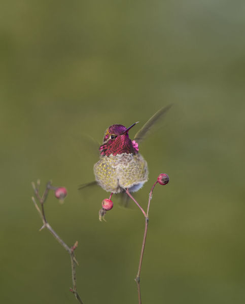 USA. Washington State. Adult male Anna's Hummingbird (Calypte anna) flashes his iridescent gorget