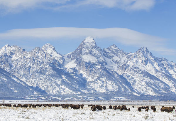 USA, Wyoming, Grand Teton National Park, Bison herd grazing in winter on Antelope Flats