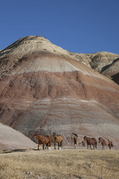 USA, Wyoming, Shell, The Hideout Ranch, Horses Walking in front of Painted Hills (MR/PR)