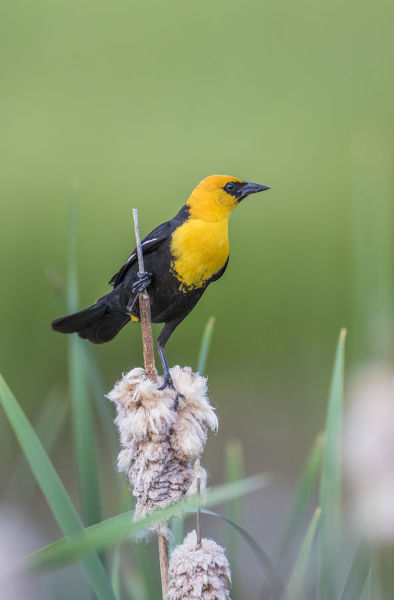 USA, Wyoming, Sublette County, a male Yellow-headed Blackbird perches on dried cattail stalks in a marsh