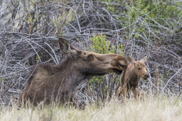 USA, Wyoming, Sublette County, a newborn moose calf tries to stand with it's mother nuzzling for encouragement
