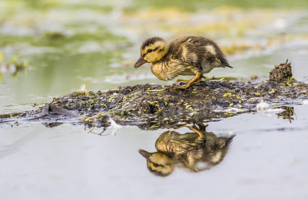 USA, Wyoming, Sublette County, a newly hatched Cinnamon Teal duckling stands on a small mud island in a pond