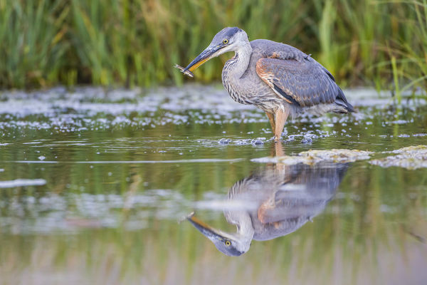 USA, Wyoming, Sublette County, a young Great Blue Heron catches a small fish in a pond