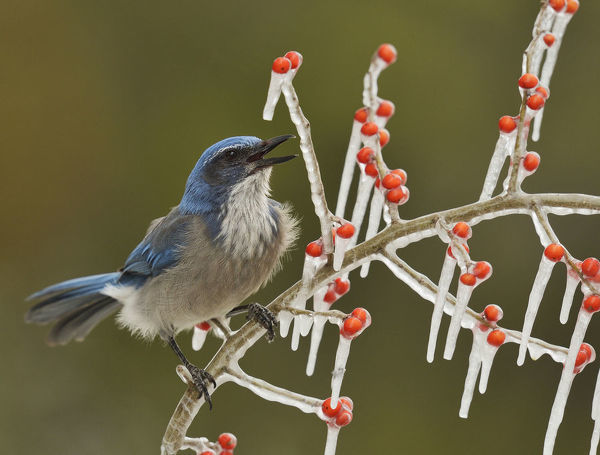 Western Scrub-Jay (Aphelocoma californica), adult calling on icy branch of Possum Haw Holly