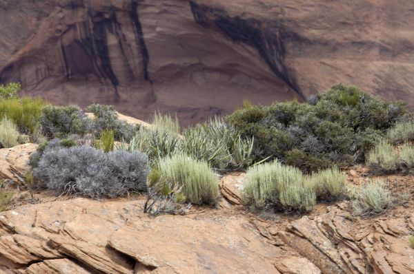 Native plants on the arid rim of Canyon de Chelly, on the Navajo Nation Reservation, Arizona. Digital photograph