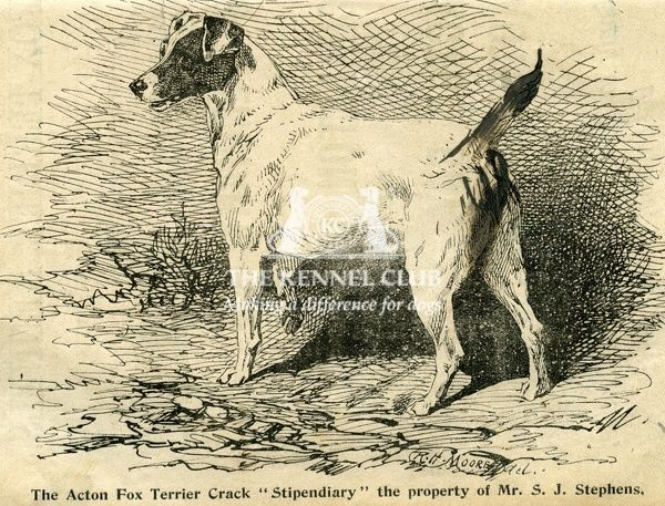"Acton Fox Terrier Crack ""Stipendiary"" property of Mr S.J. Stephens   1895 Crufts"
