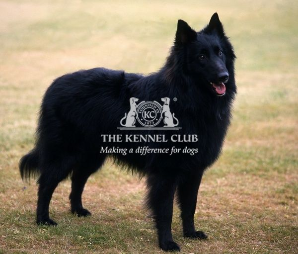 Belgian Shepherd Dog (Groenendael)taken by Diane Pearce
