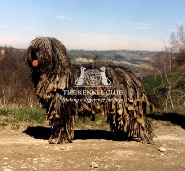 A Bergamasco pictured in profile