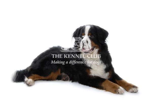 Bernese mountain dog lying on the floor in the studio