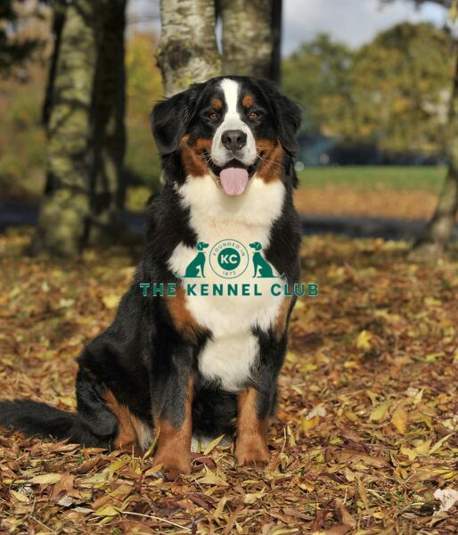 bernese mountain dog in UK in fall