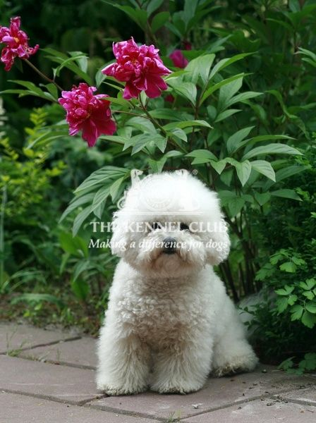 A Bichon frise outside looking towards the camera
