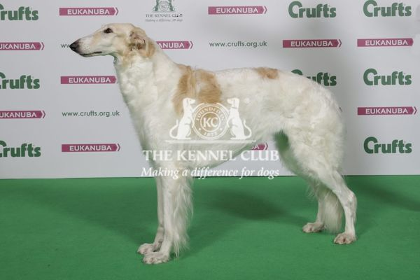 Borzoi Best of Breed Winner, Crufts 2016