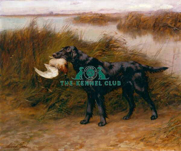 Signed and dated 1901 Oil on canvas 24 x 29 ins Ch Wimpole Peter is one of six paintings Henry Reginald Cooke commissioned of his Flat Coated Retrievers from Maud Earl. Peter was bred by F Keen and was by Black Drake, a dog bred and owned by Harding Cox