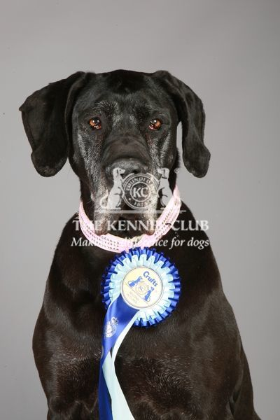 Great Dane with Rosette