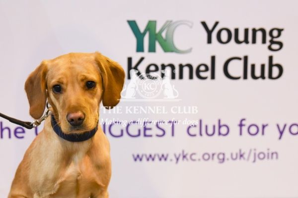 Labrador puppy by the YKC ring
