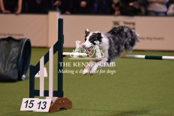 Crufts 2016. Agility 18-24 in the YKC ring
