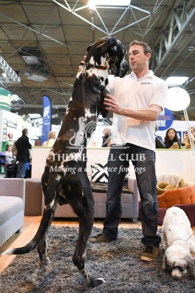 Fraser, one of the country's biggest Great Danes on Fetch stand