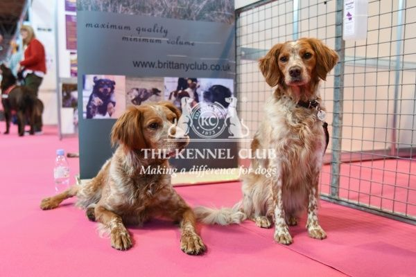 Crufts 2016. Brittany dogs in Discover Dogs area at Crufts 2016