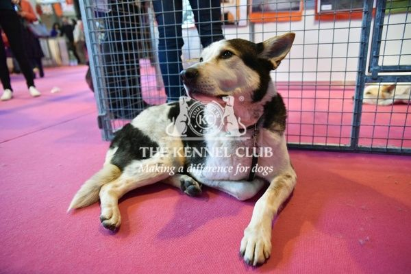 Crufts 2016. Canaan dog in Discover Dogs Crufts 2016