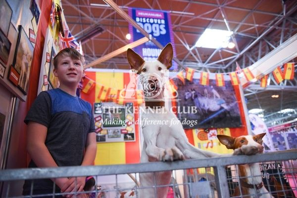 Ibizan Hound at Discover Dogs at Crufts 2016