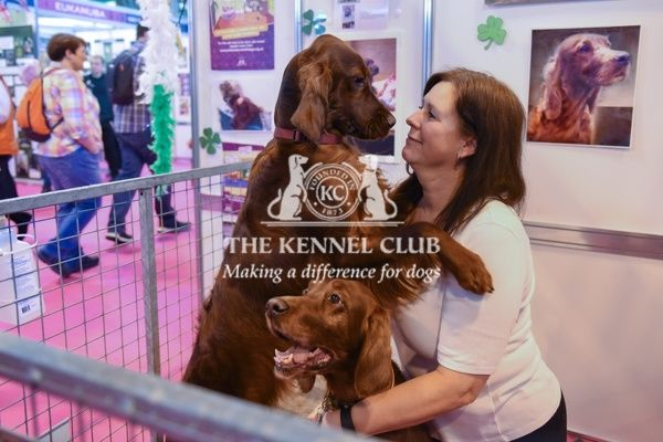Crufts 2016. Irish Setters at Discover Dogs at Crufts 2016