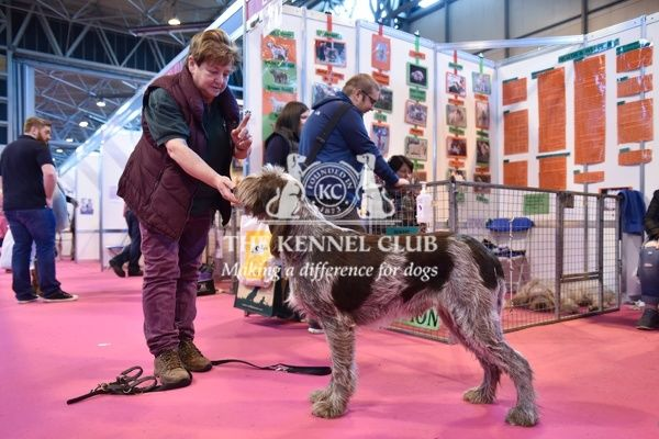 Italian Spinone at Discover Dogs, Crufts 2016