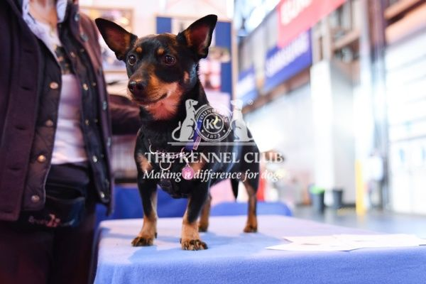 LANCASHIRE HEELER at Discover Dogs, Crufts 2016