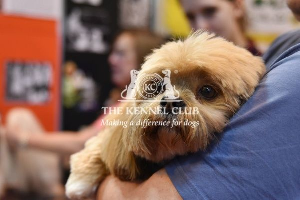 Crufts 2016. LHASA APSO being cuddled at Discover Dogs, Crufts 2016