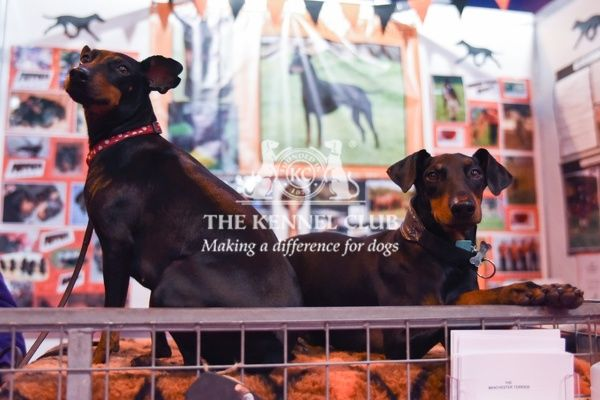 Manchester Terriers in Discover Dogs, Crufts 2016