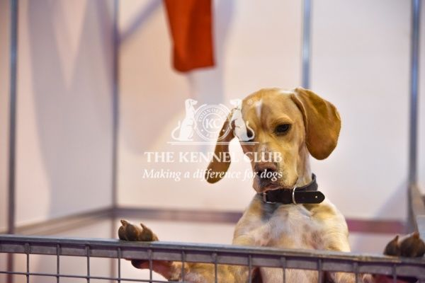 Portuguese Pointer in Discover Dogs, Crufts 2016