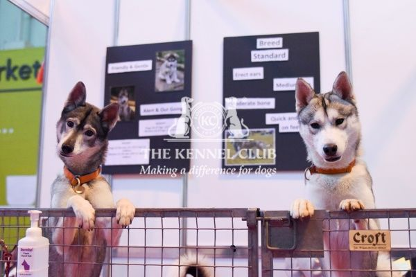 Siberian Huskies at Discover Dogs, Crufts 2016