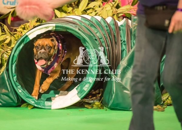 Lola the Boxer takes part in Agility at Crufts 2016. Dog Activities Arena on Friday 11 March 2016. Lola was handled by Serina