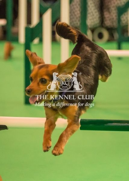 Guiness, the Jcck Russel Cross, takes part in Agility in the Dog Activities Ring on Day 2 of Crufts 2016 - Handled by Emily