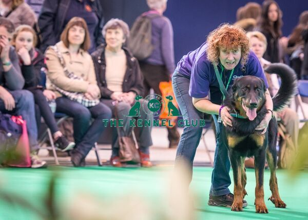 Dido the Beauceron performs in the Dog Activities Ring during Crufts 2016, Handler is Kathy Williams from Heredforshire