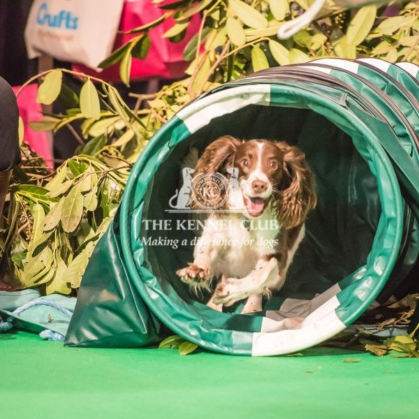 Lula the English Springer Spaniel handled by Chris takes part in the Agility display in the Dog Activities Ring