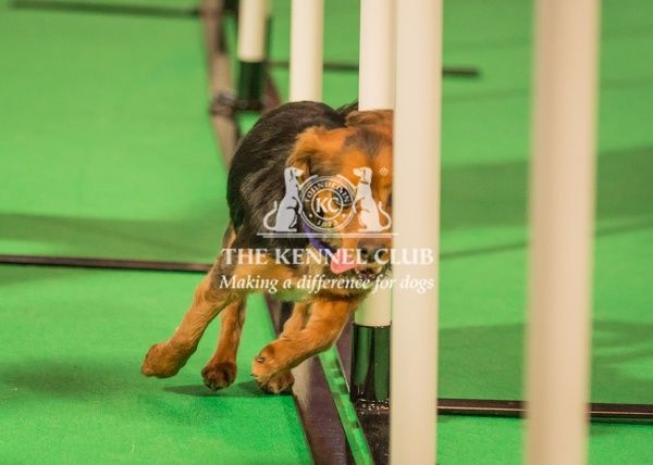 Guiness - Jack Russel Cross - during Agility Demonstration in the Dog Activity Ring - Day 2 of Crufts 2016 - Handled by Emily