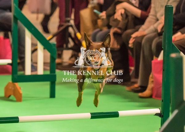 An Australian Cattle Dog (Kelpie) called BB takes part in the Agility demontration in the Dog Activities Ring on Day 2 of Cruftys 2016. BB is owned by Hannah