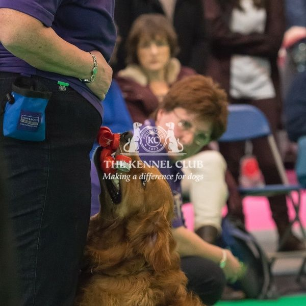 Sue and her dog Bradley (Golden Retriever) taking part in the Dog Activity Ring (Obedience) during Day 2 of Crufts 2016