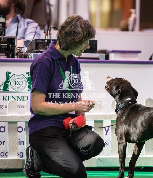 Susan (from Bristol) and Ollie (a Staffordshire Bull Terrier) take part in the Rally demonstration in the Dog Activities Ring on Day 2 of Crufts 2016